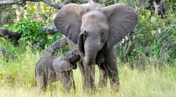 elefante africano entre os animais com os periodos de gestacao mais longos