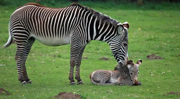 zebra entre os animais com os periodos de gestacao mais longos