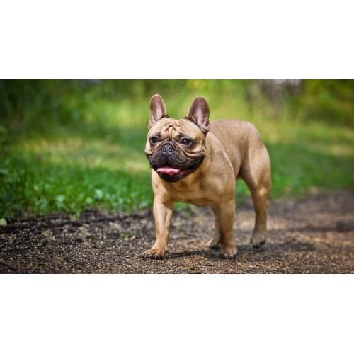 Medium Crop Of French Dog Breeds