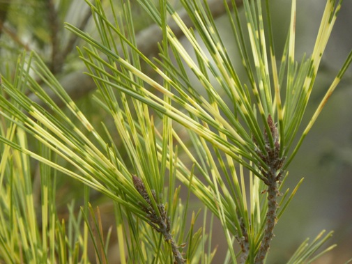 Pinus thunbergii 'Oculus-draconis'