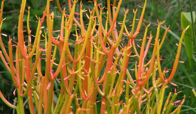 Euphorbia tirucalli 'Sticks on Fire'