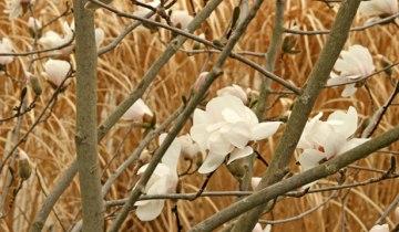 Magnolia-'Merrill_Davis_620