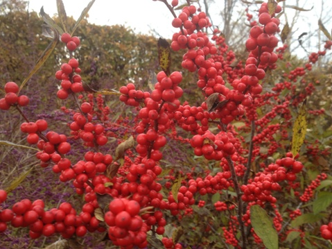 Ilex verticillata 'Winter Red' (Winterberry)  November 6, 2012