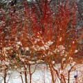 'Midwinter Fire' dogwood in Nature's Garden at the TBG