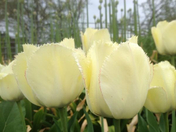 Tulipa 'Fringed Elegance'