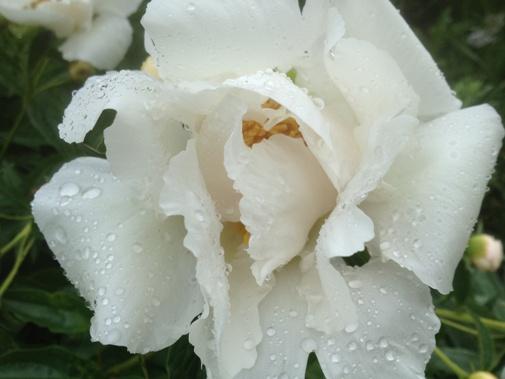 Paeonia lactiflora 'Krinklled White'
