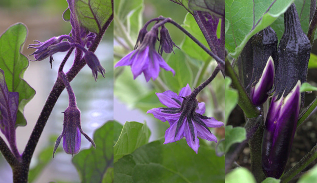 eggplant blooming series