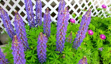 lupines and sweet sultan