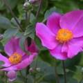 Anemone hupehensis 'Pretty Lady Diana'2