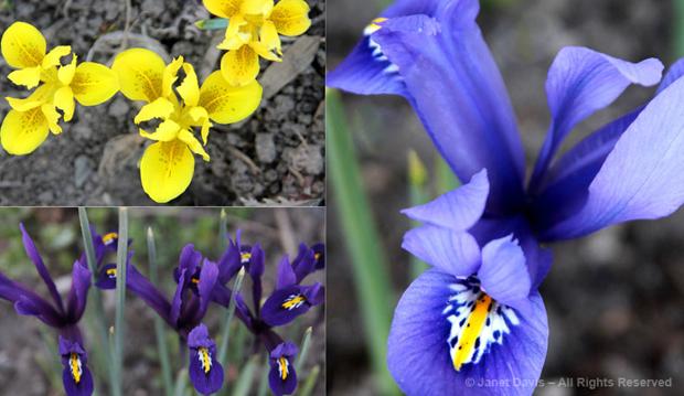 Iris array, spring