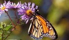 monarch butterfly on cover