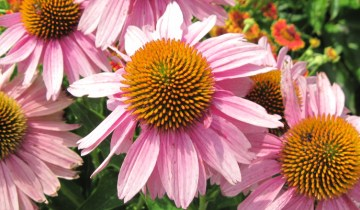 Echinacea bloom showing disc and ray florets.