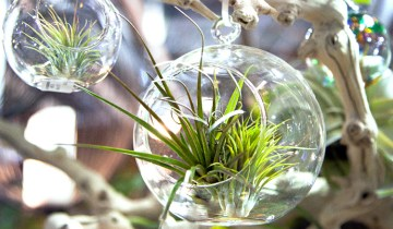 Tillandsia (air plant) growing in a class sphere