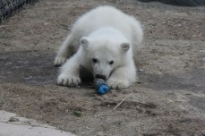 Endangered animals like the Toronto Zoo's newest polar bear cub best belong in preserves or conservation areas, says Nicole Birmingham, an animal biology student at the University of Guelph. 'All their needs can be met and they will have an opportunity to perform all their natural behaviours,' she says.