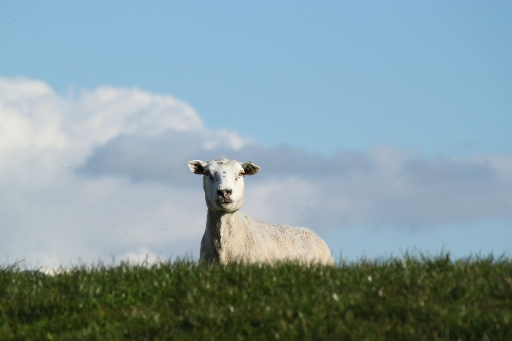 sheep at occombe