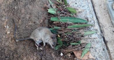 Denuncian ratas en la Avenida al Vedat