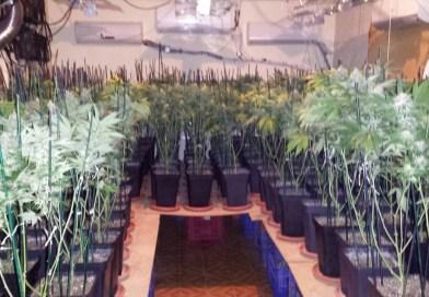 Incautan 462 plantas de marihuana en dos viviendas de la calle Santa Lucía de Torrent