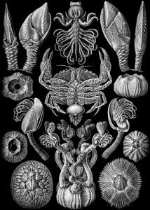 Haeckel_Cirripedia