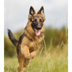 Small Crop Of German Shepherd Pictures