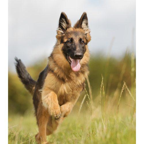 Medium Crop Of German Shepherd Pictures