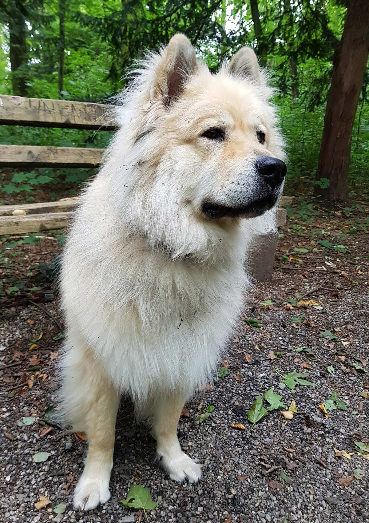 Fullsize Of Chow Husky Mix