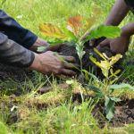 саженцы дуба на территории ПАТП Тобольска