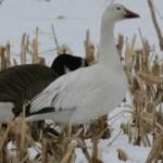 snow_goose_1