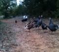 Real Turkeys during a run