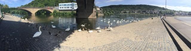Swans on Saar River