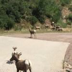 Mountain Goats on Colorado Trail