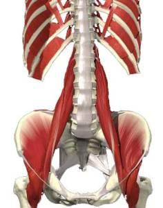 Psoas major och illiacus urspringer från ländryggen respektive insidan av höftkammen och fäster sen på insidan av lårbenet (på trochanter minor).