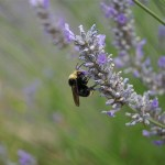 Europe targets bee-killing pesticides