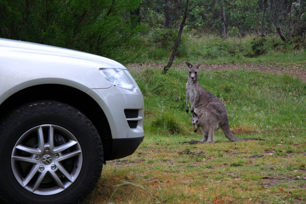 A curious Eastern Grey Kangaroo with Joey checks out Magda