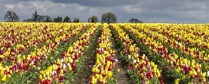 oregon spring tulips