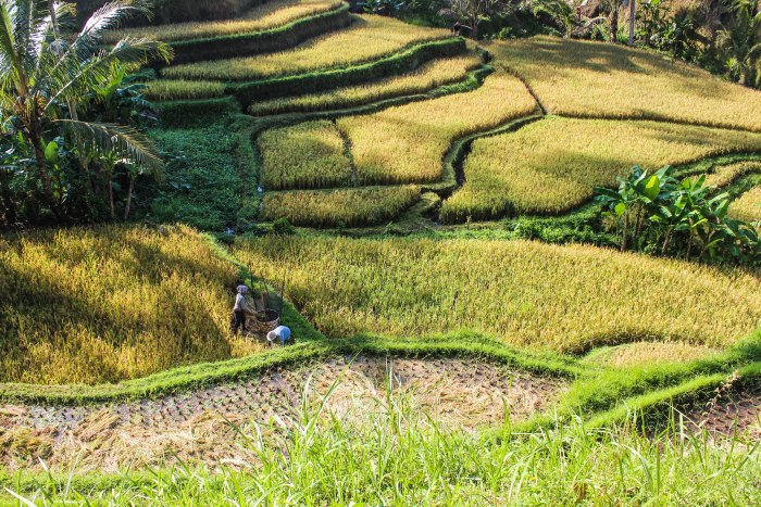rice terraces (1 of 1)