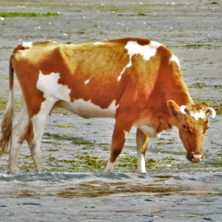 Opitsaht, cow, clayoquot, canada