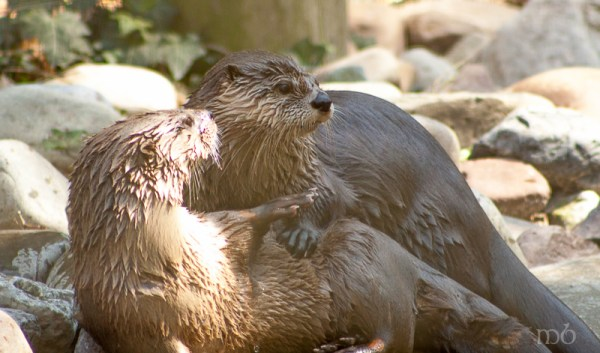Otter at the Salisbury Zooes