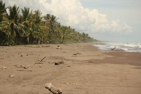 Green Sea Turtle Nesting Site; Tortuguero, Costa Rica; 2013