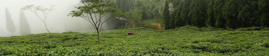 tea garden2
