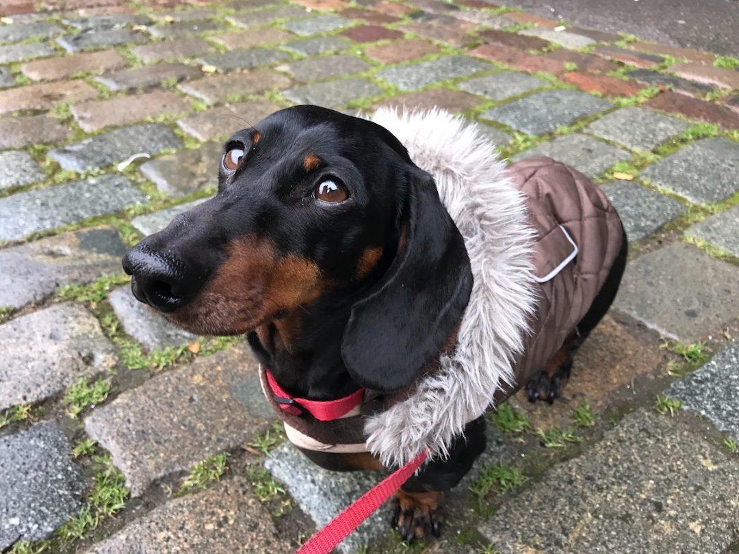 Fullsize Of Short Spine Dog