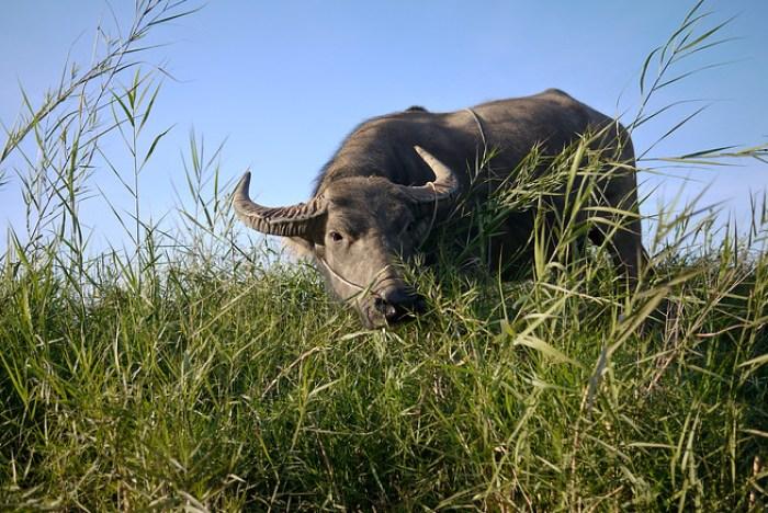 water buffalo, burma