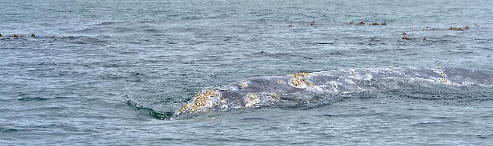 Orcas Atlantic Long Island