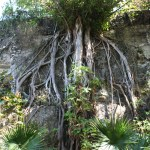 Queens-Staircase-Tree-Nassau-Bahamas-2
