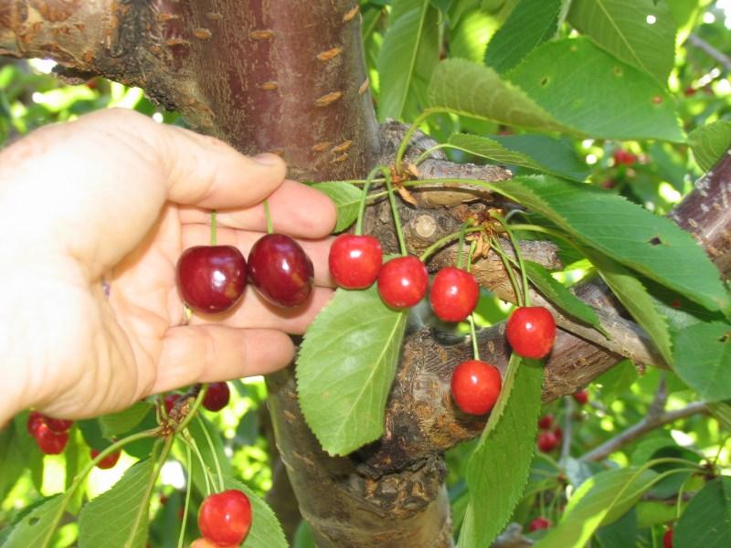 Large Of Bing Cherry Tree