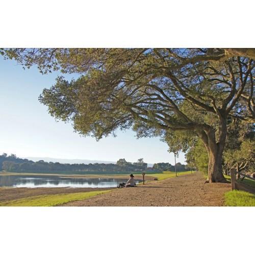 Medium Crop Of Coast Live Oak