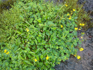 wild flowers Kaas plateau bamnoli satara