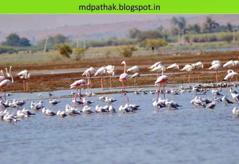 Flamingos bhigwan bird watching