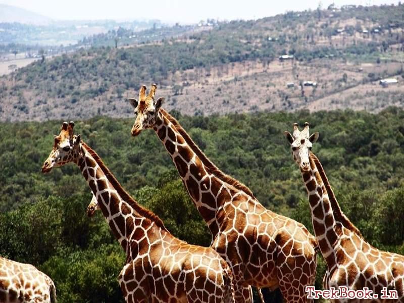 the aberdare country club Giraffe