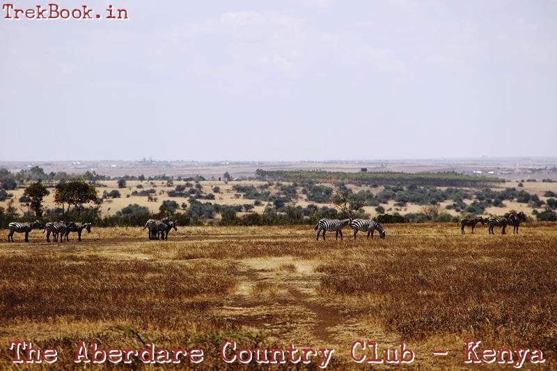 the aberdare country club Zebra