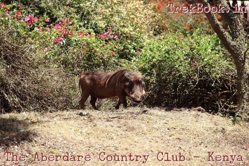 the aberdare country club - warthog